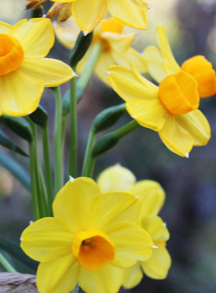 Jonquil Side feature